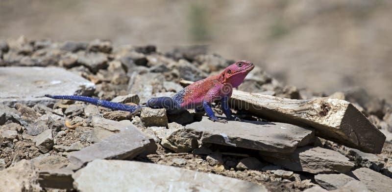 African rainbow lizard stock photography