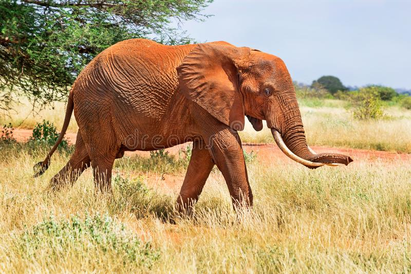 African red elephant is in wildlife reserve. Africa`s big 5 five animals. Kenya stock photo