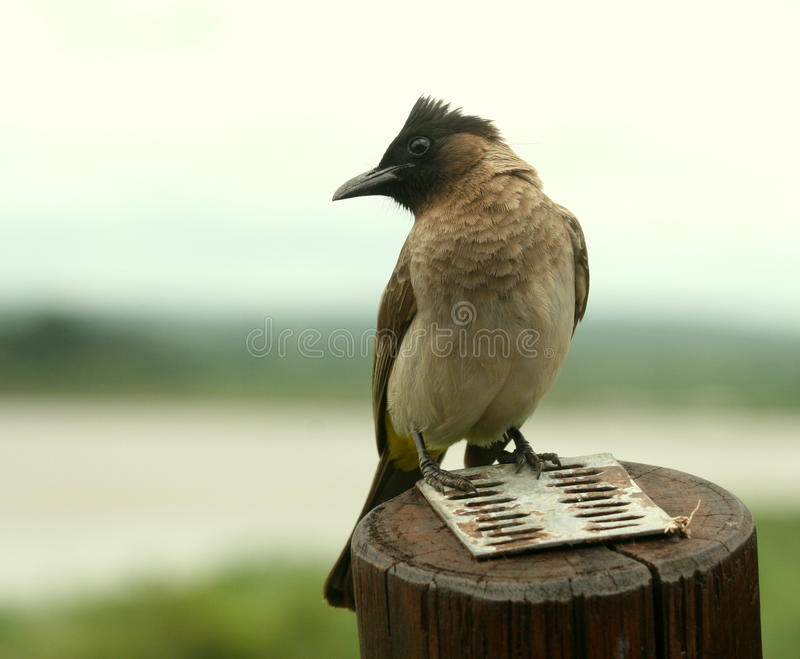 African red-eyed bulbul royalty free stock photography