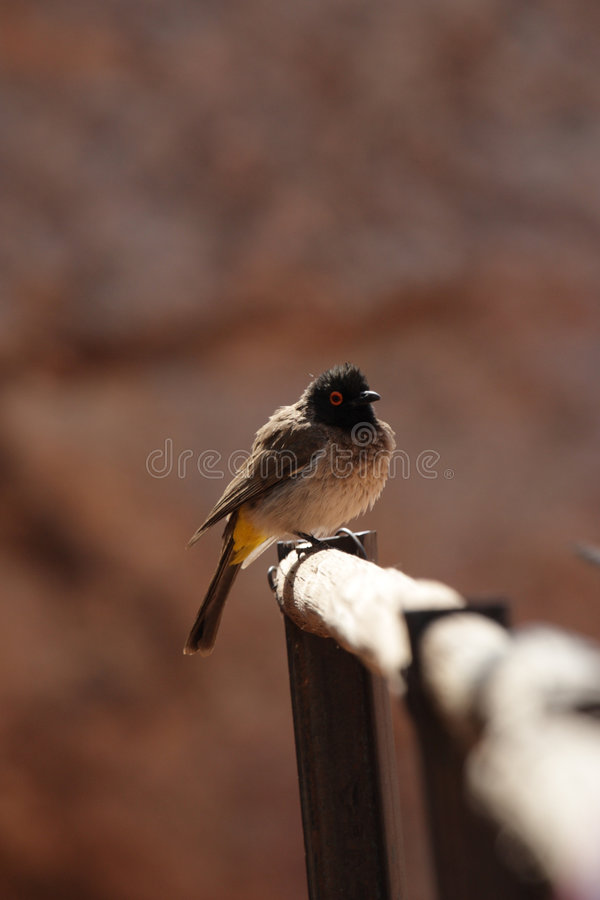 African Red-eyed Bulbul. (Pycnonotus nigricans) in Namibia royalty free stock photo