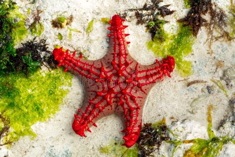 African red knob sea star. In Indian Ocean near Zaznibar island stock photography