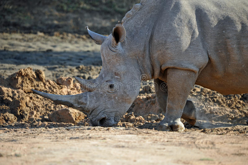 Download African Rhino stock image. Image of african, grazer, large - 27271587