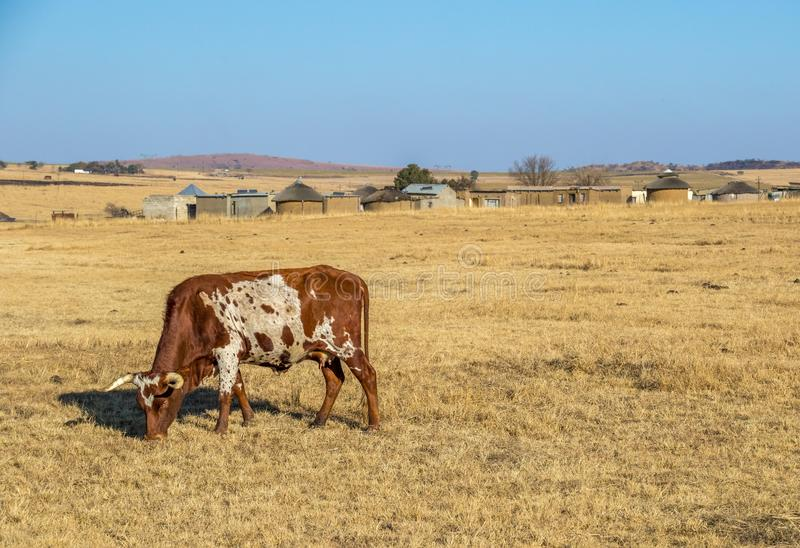 African rural lifestyle image with Nguni cow and small village. An African Nguni cow and a small African village typical African rural lifestyle image in stock images