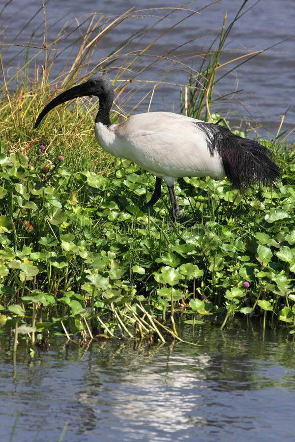 Download African Sacred Ibis stock photo. Image of african, tanzania - 20850288