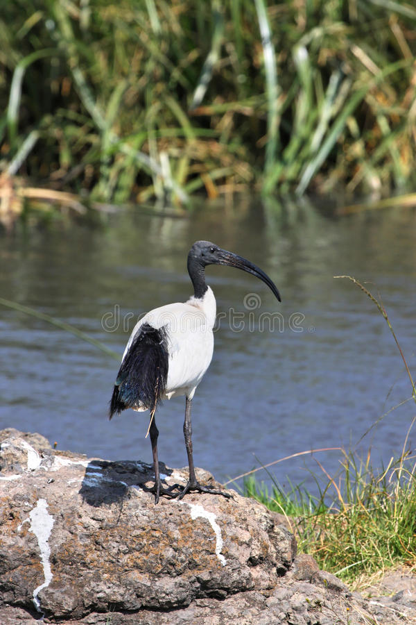 Download African Sacred Ibis stock image. Image of bird, crater - 20890433