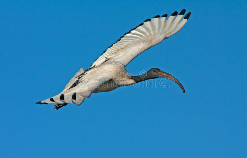 Download African Sacred Ibis stock image. Image of sacred, wings - 21091047