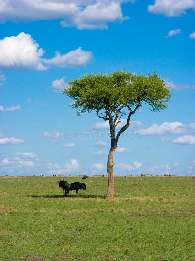 African savanna royalty free stock image