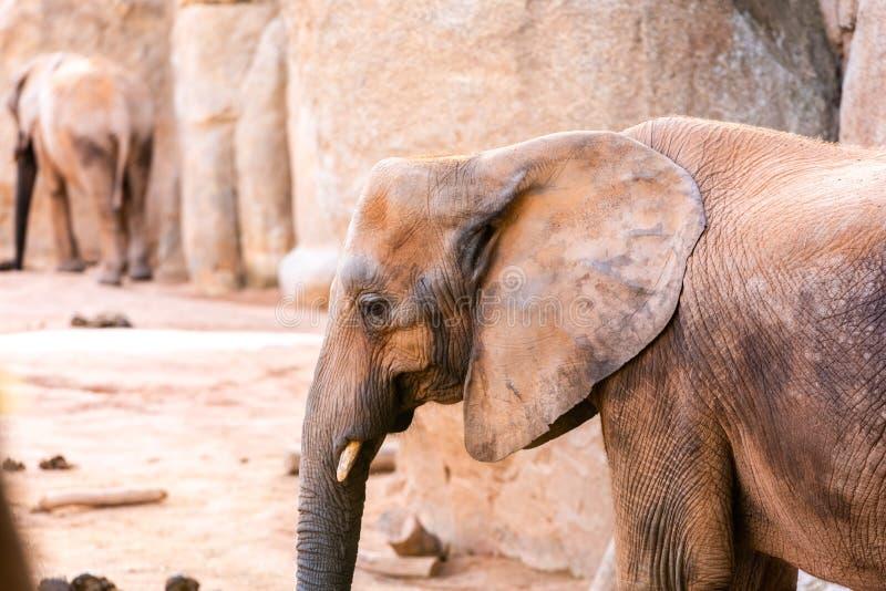 African savanna elephant tusks, Loxodonta africana, looking at camera royalty free stock images