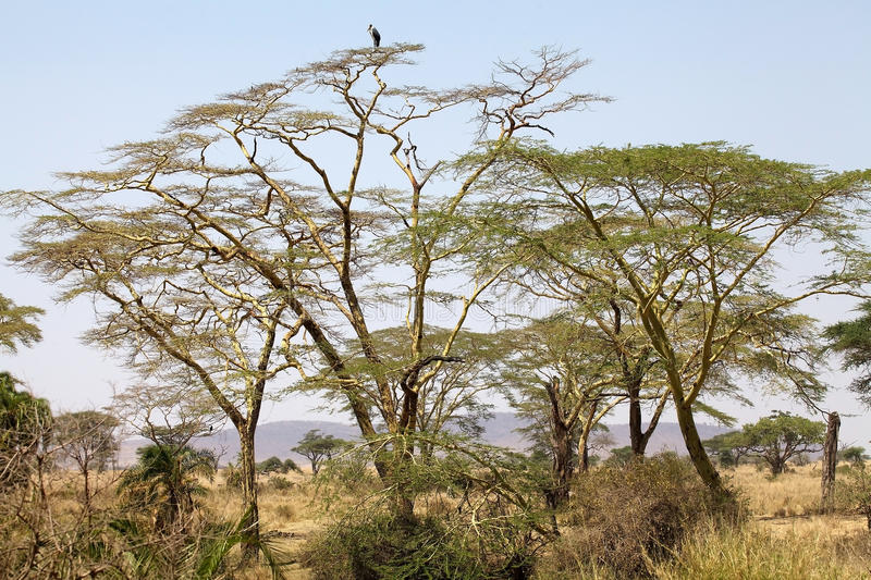 African savanna. Fever trees or Yellow barked acacias (Acacia xanthophloea) in the african savanna with marbou stork on the top royalty free stock photos