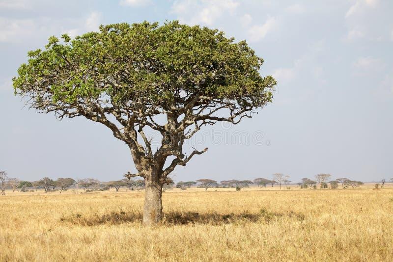 African savanna. Sausage tree (Kigelia africana) in the african savanna stock photo