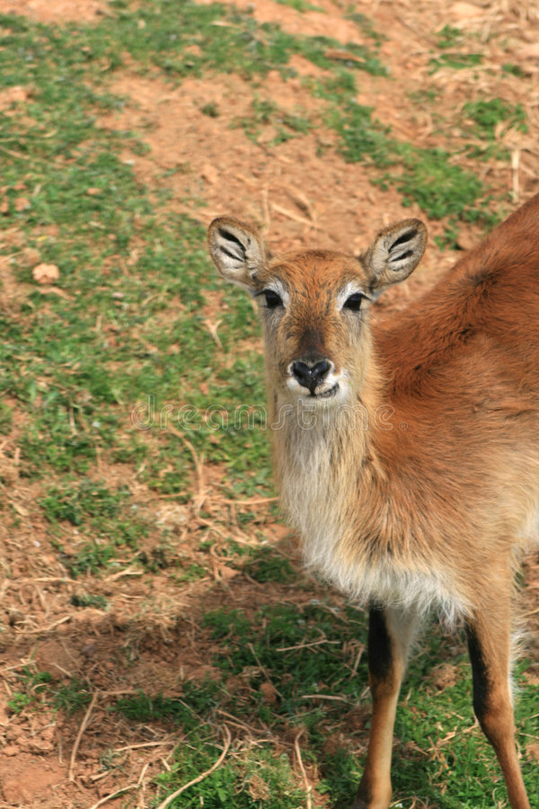 African Savannah animal - Lechwe Cobe. An african savannah animal - Lechwe Cobe. Lives in very large herds in Zambia, Botswana, S.E. Congo. The population has stock images
