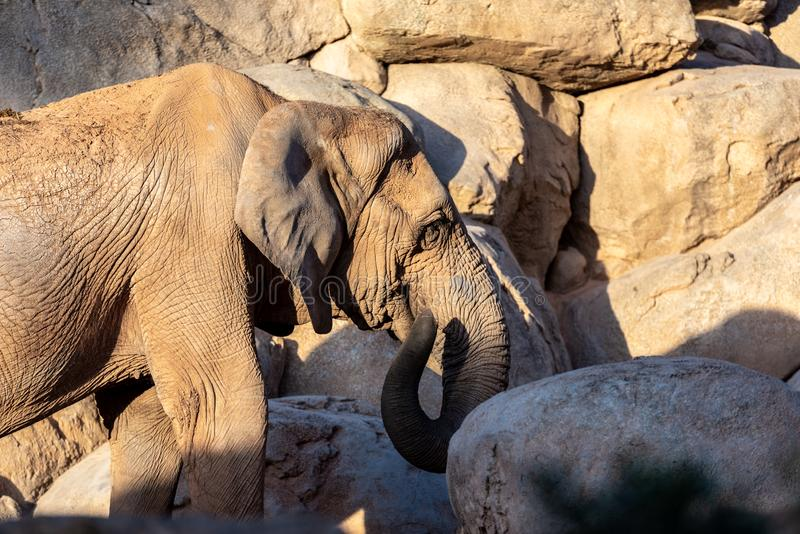 African savannah elephant female playing with her trunk, Loxodonta africana. African savanna elephant female walking among rocks, Loxodonta africana stock photo