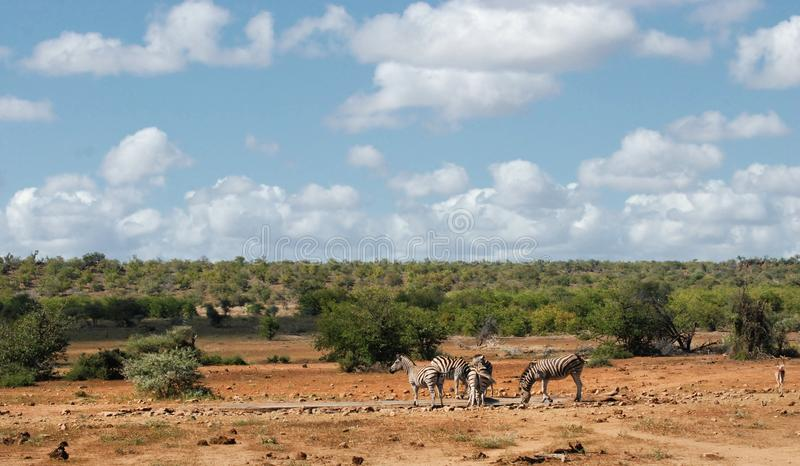 African savannah landscape with plain zebras at waterhole royalty free stock photo
