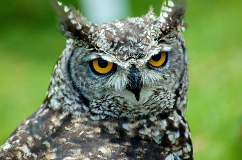 Download African Scops Owl Profile 2 Stock Image - Image: 23948381