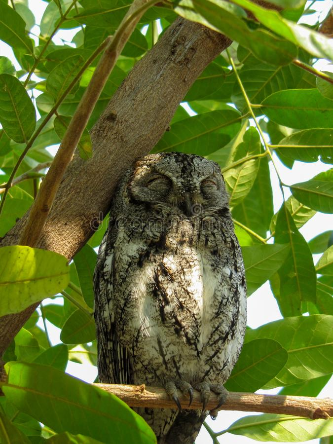 Free African Scops Owl &x28;Otus Senegalensis&x29; In Kruger Park Stock Photography - 152673022