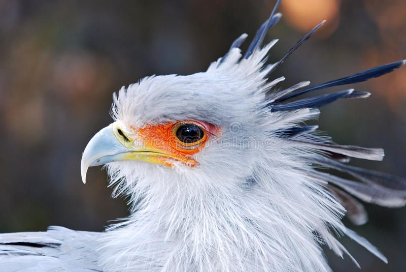 African Secretary Bird royalty free stock photos