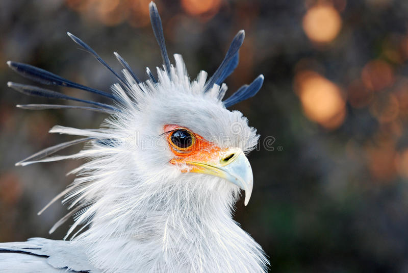 African Secretary Bird royalty free stock images