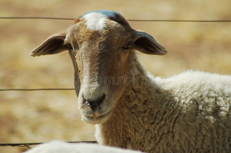 Download African sheep #2 stock photo. Image of animal, farm, africa - 236496