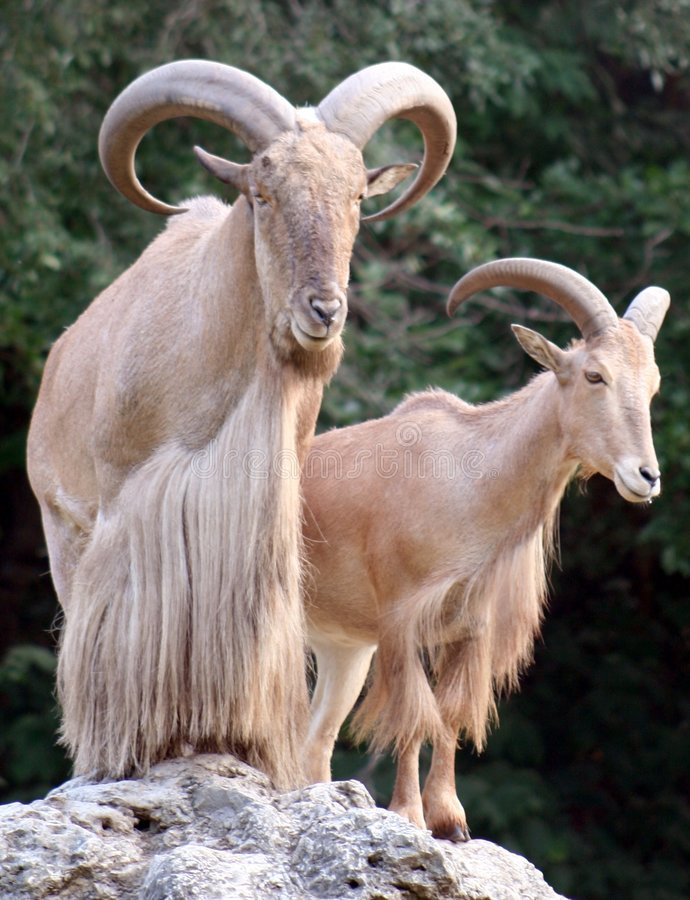 African Sheep Royalty Free Stock Image