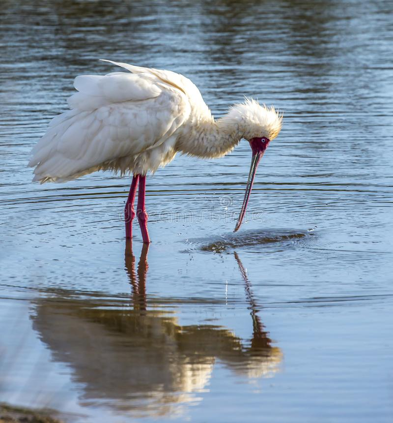 African spoonbill bird stock photos
