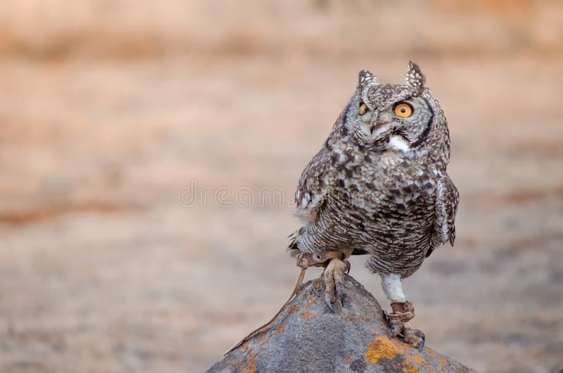 African spotted owl africanus bubo perched on a rock at a birds of prey show, South Africa. A rescued African spotted owl africanus bubo perched on a rock at a royalty free stock image