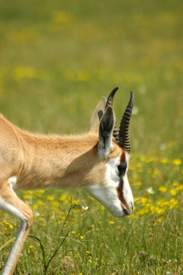 African springbok antelope stock photo