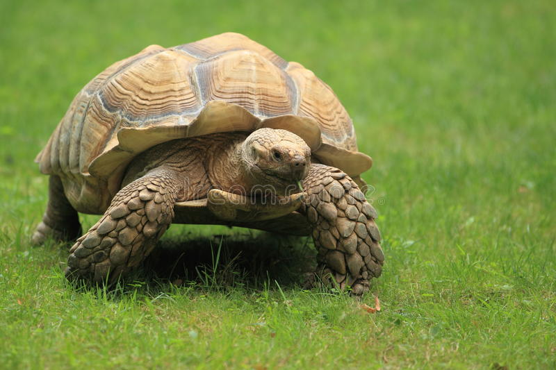 African spurred tortoise. The crawling adult african spurred tortoise royalty free stock photos