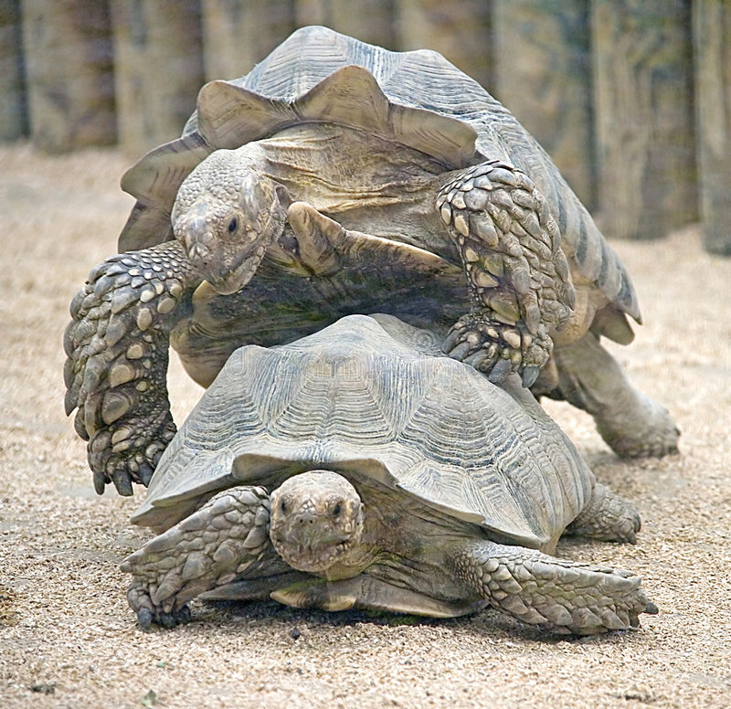 Free African Spurred Tortoise 5 Royalty Free Stock Images - 3816599