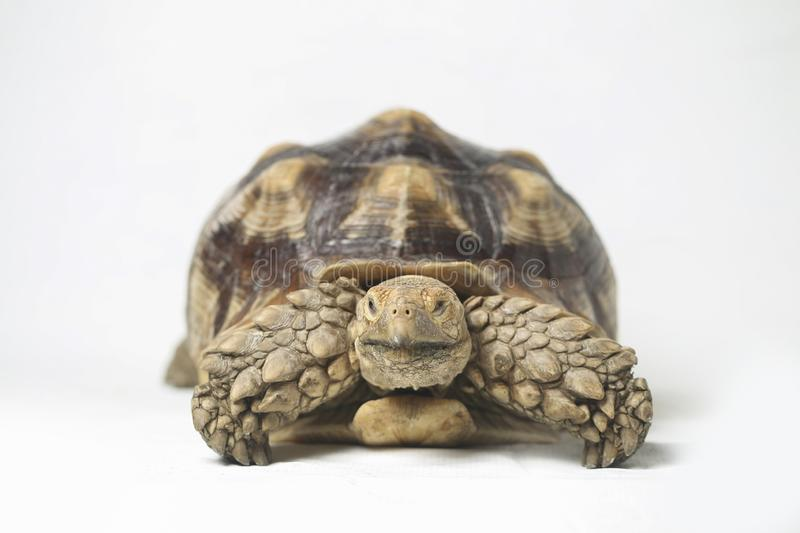 African Spurred Tortoise also know as African Spur Thigh Tortoise - Geochelone sulcata. Isolated on white background stock image