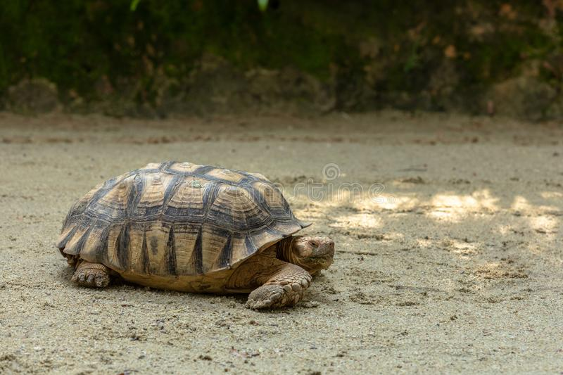 African Spurred Tortoise, Centrochelys sulcata, on sandy ground royalty free stock images