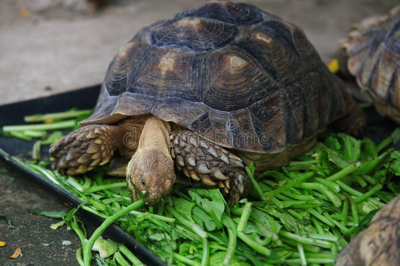 African spurred tortoise. The African spurred tortoise (Centrochelys sulcata), also called the sulcata tortoise, is a species of tortoise, which inhabits the stock image