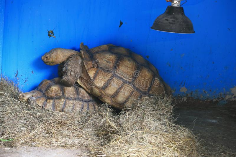 African spurred tortoise. The African spurred tortoise (Centrochelys sulcata), also called the sulcata tortoise, is a species of tortoise, which inhabits the royalty free stock photo