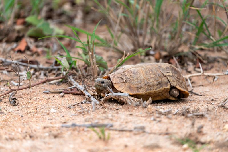 African Spurred Tortoise (Centrochelys sulcata) with missing rear leg. African Spurred Tortoise (Centrochelys sulcata), taken in South royalty free stock photography
