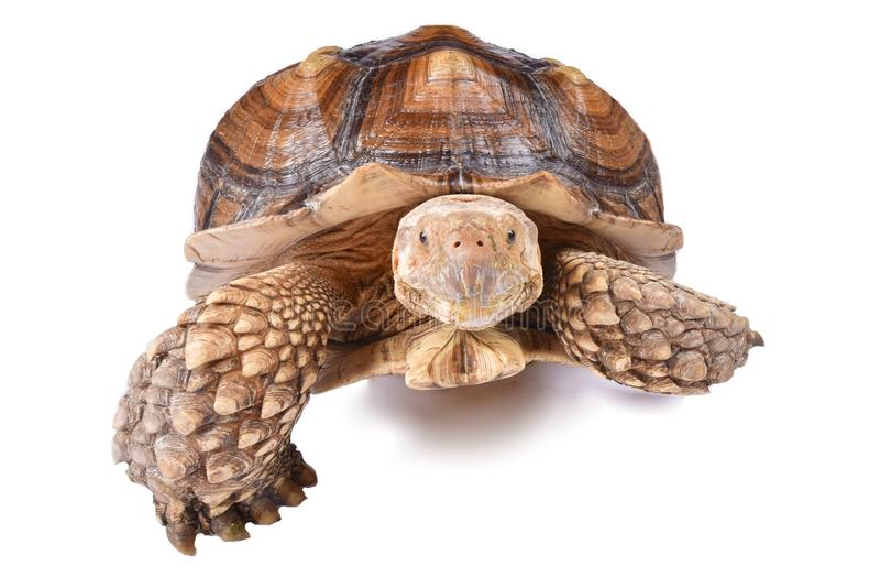 African spurred tortoise Centrochelys sulcata stock images