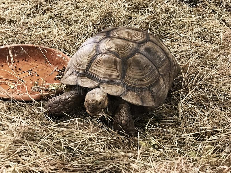 African spurred tortoise or Sulcata tortoise. African spurred tortoise or Centrochelys sulcata or Sulcata tortoise royalty free stock photography