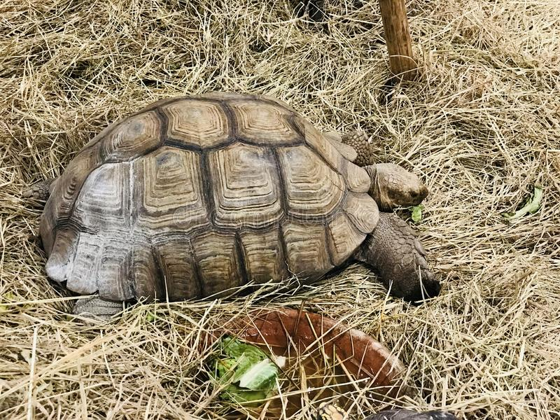 African spurred tortoise or Sulcata tortoise. African spurred tortoise or Centrochelys sulcata or Sulcata tortoise stock photos