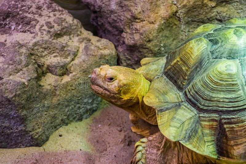 African spurred tortoise in closeup with its face, tropical land turtle from the desert of Africa, Vulnerable reptile specie. A African spurred tortoise in royalty free stock image