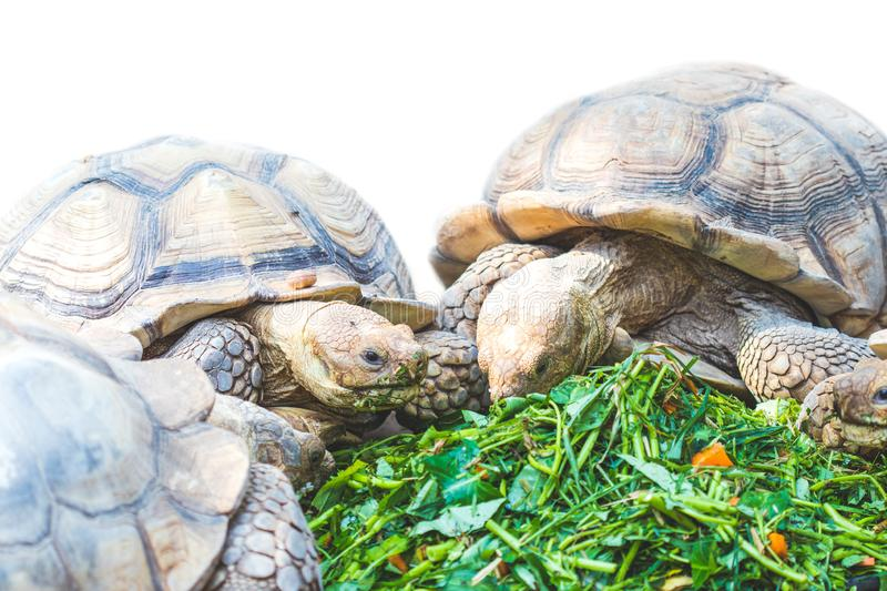 African Spurred Tortoise eating vegetables. Close up,African Spurred Tortoise eating vegetables royalty free stock photo