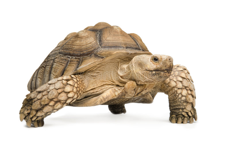 African Spurred Tortoise - Geochelone sulcata. African Spurred Tortoise also know as African Spur Thigh Tortoise - Geochelone sulcata in front of a white royalty free stock image