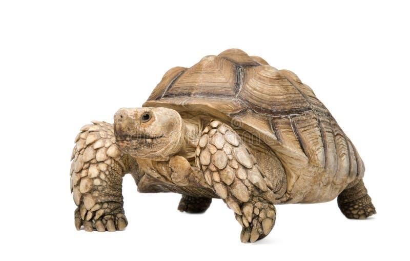 African Spurred Tortoise - Geochelone sulcata. African Spurred Tortoise also know as African Spur Thigh Tortoise - Geochelone sulcata in front of a white stock photos