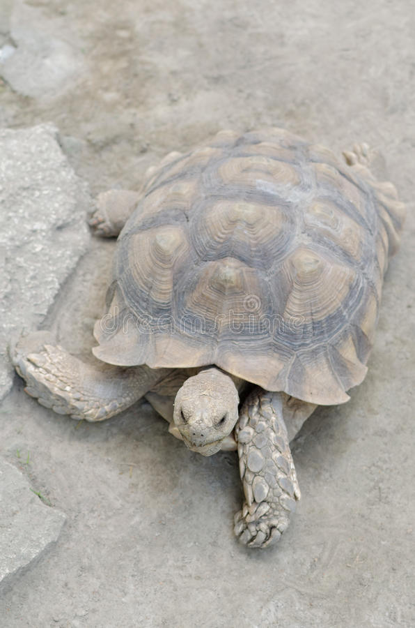African spurred tortoise or geochelone sulcata. The African spurred tortoise (Geochelone sulcata), also called the sulcata tortoise, is a species of tortoise royalty free stock image