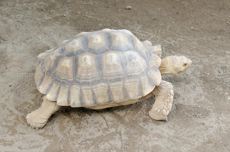 African spurred tortoise or geochelone sulcata. The African spurred tortoise (Geochelone sulcata), also called the sulcata tortoise, is a species of tortoise royalty free stock photos