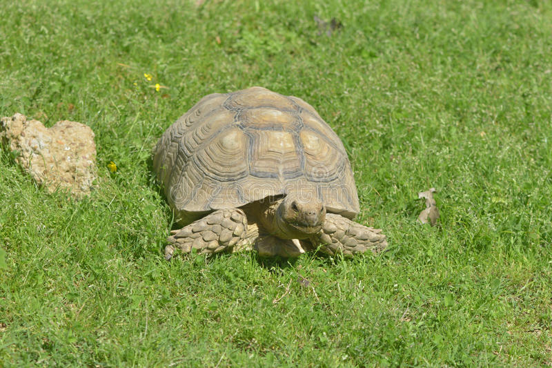 African Spurred Tortoise. The African spurred tortoise (Geochelone sulcata), or the sulcata tortoise, is a species of tortoise which inhabits the southern edge royalty free stock photography