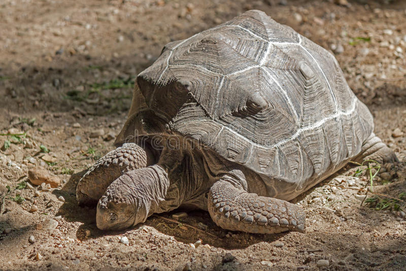 African spurred tortoise, giant turtle. Sunbathe on land stock photos