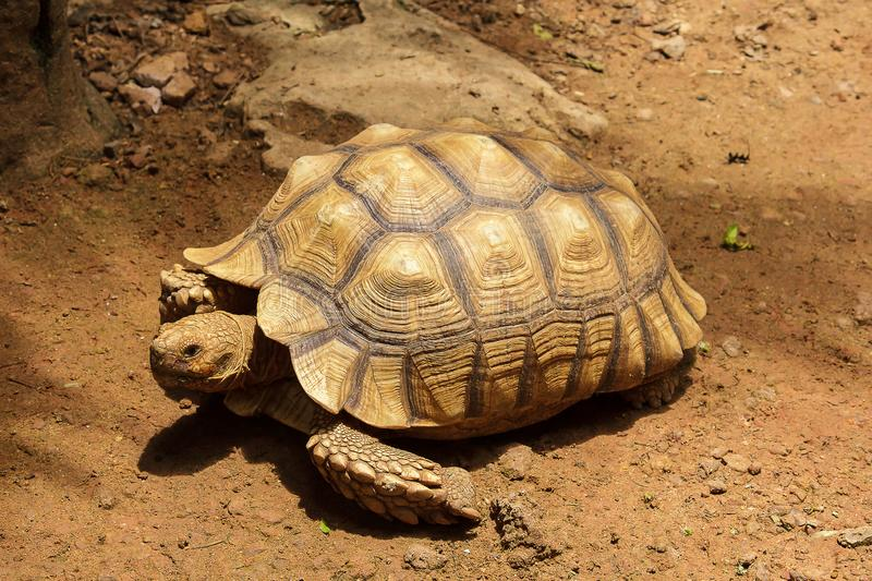 African Spurred Tortoise on the ground royalty free stock photography