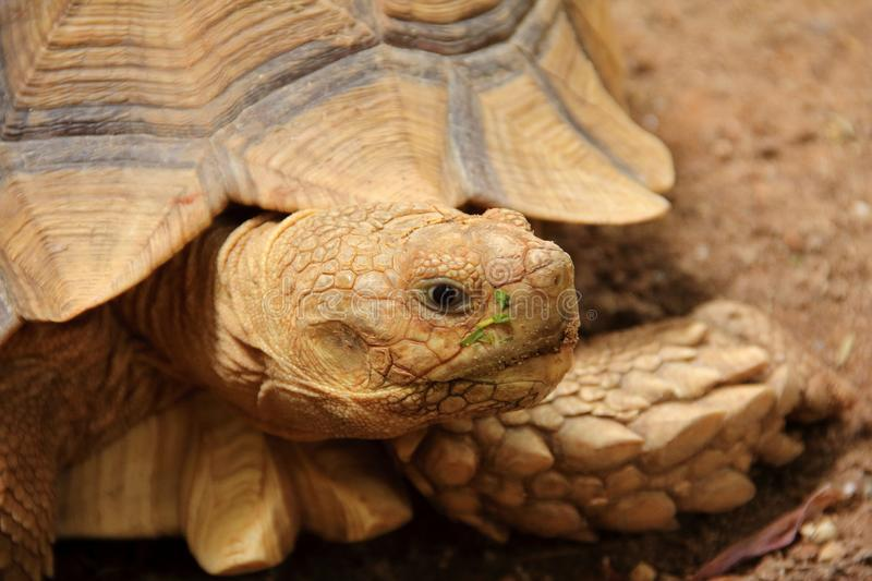 African spurred tortoise Sulcata tortoise. Closeup picture of African spurred tortoise Sulcata tortoise walking on the ground stock images