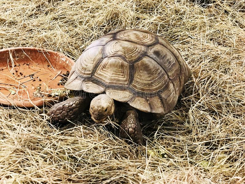 African spurred tortoise or Sulcata tortoise. African spurred tortoise or Centrochelys sulcata or Sulcata tortoise stock images