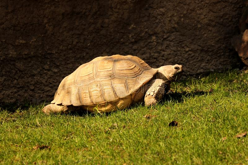 A African spurred tortoise walking aroung his house. So far from his wife.  royalty free stock image