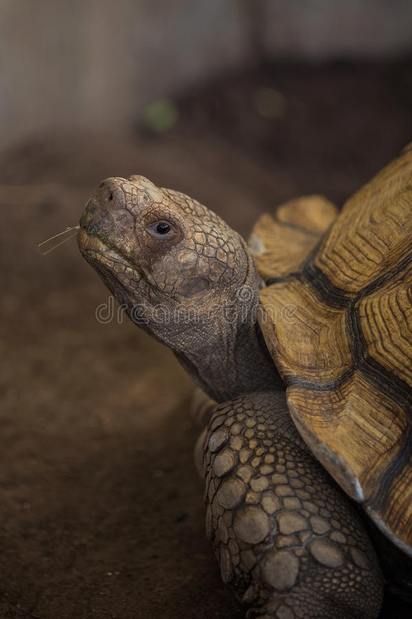 Sulcata tortoise. African spurred tortoise in zoo royalty free stock photo