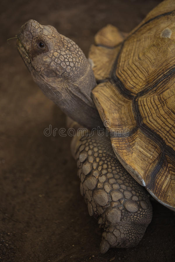 Sulcata tortoise. African spurred tortoise in zoo royalty free stock photography